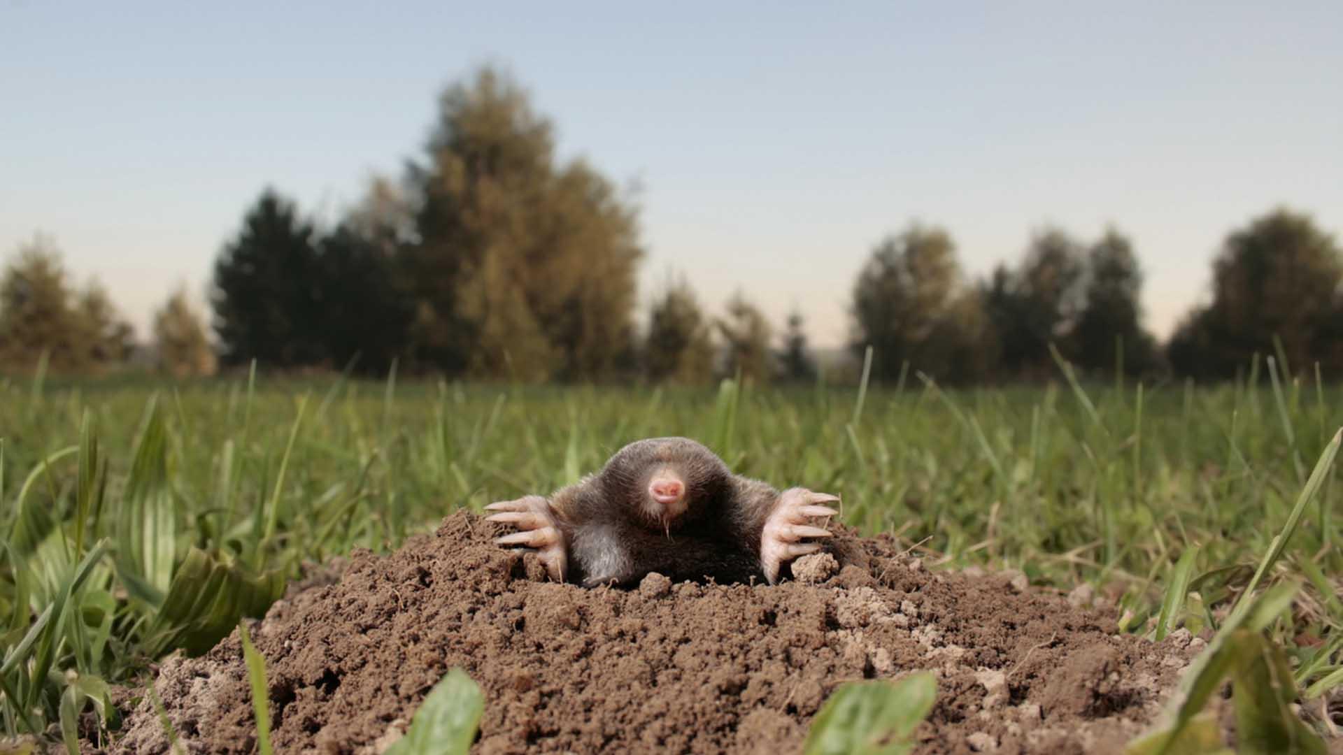 Mol molshoop in de tuin